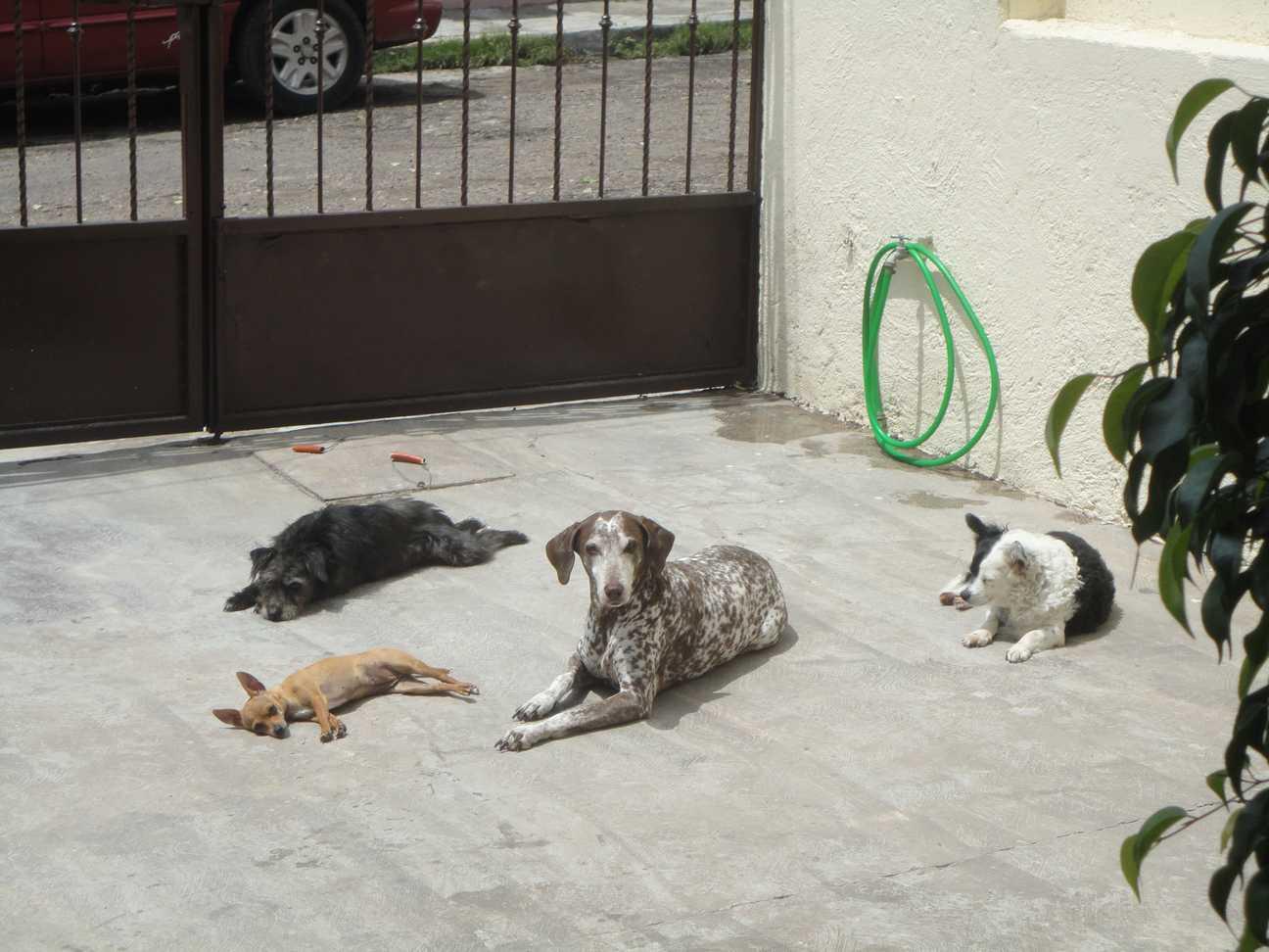 perros jauria